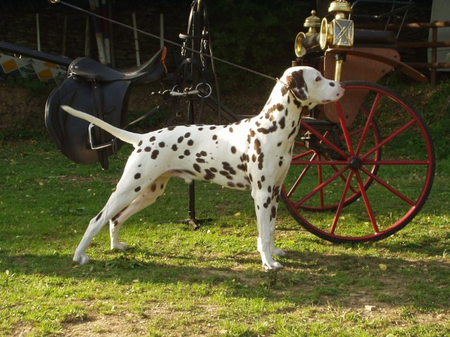 dalmatian carriage dogs