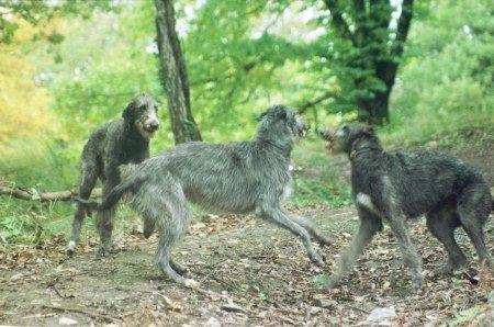 Deerhound Pictures