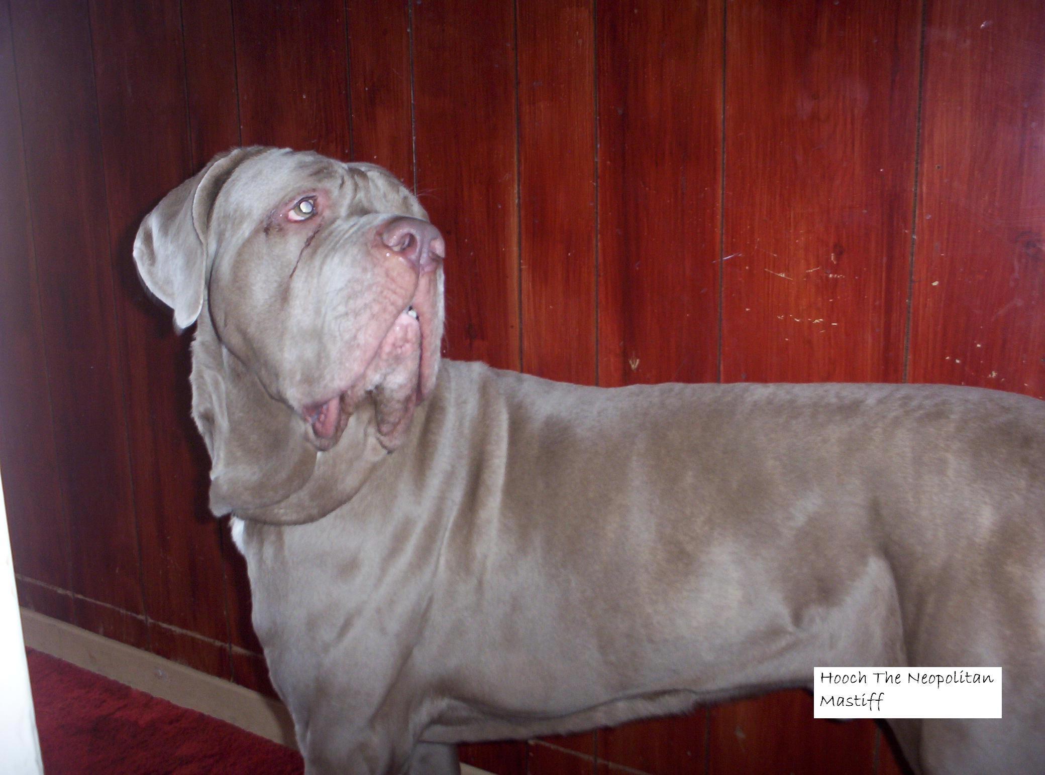 Related: Pitbull X Rottweiler , Pitbull X American Bulldog , Pitbull ...