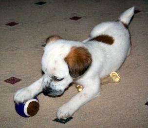 Miniature Jack Russell Terrier