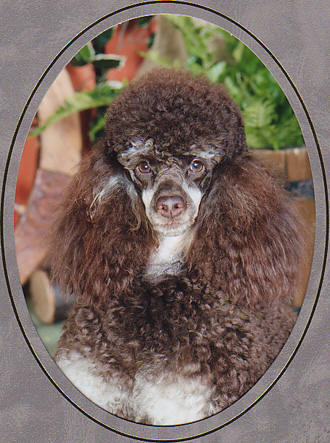 poodle-pictures