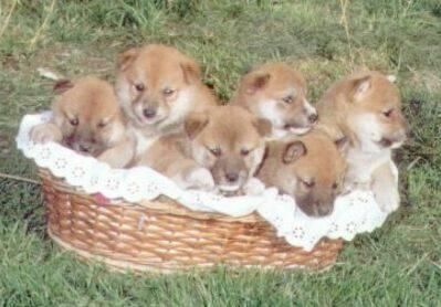 Shiba  Puppies on Shiba Inu Puppies Jpg