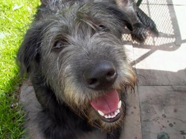 Above: Stuart (who could be an Irish Wolfhound but his owner Bob wasn ...