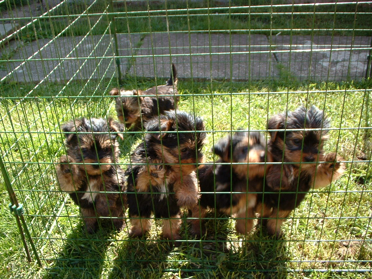 Several Yorkshire Terrier puppies playing together