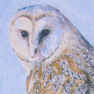 Barn owl  in pastels 10x12